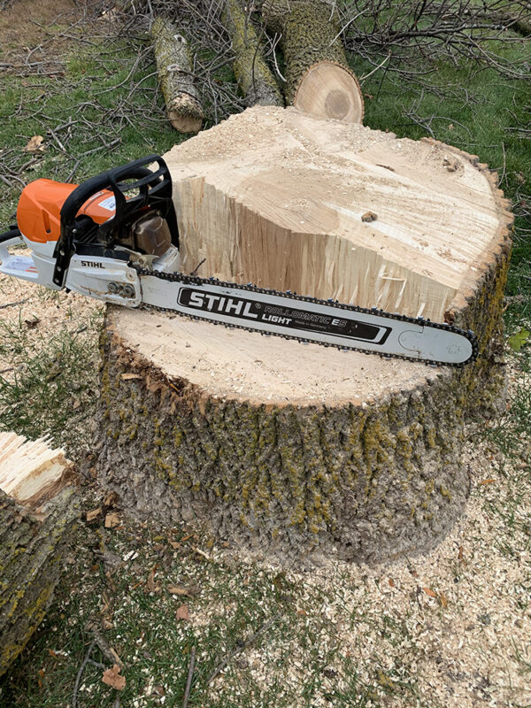 Cutting Down Trees with Stihl Chainsaw